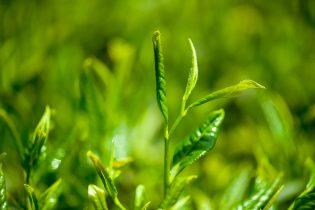 茶カテキンが感染症予防に効果的らしいです